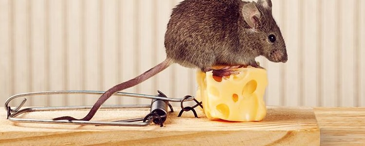 Rodent Control Bendigo